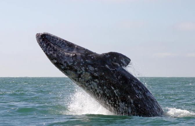 grey whales sammons lagoon